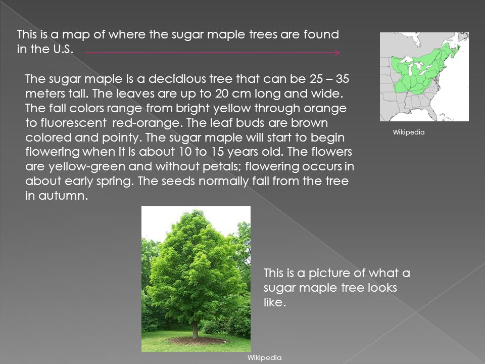 This is a map of where the sugar maple trees are found in the U.S. The sugar maple is a decidious tree that can be 25 – 35 meters tall. The leaves are