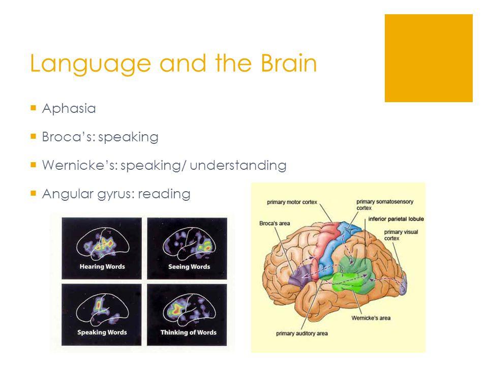 Language and the Brain  Aphasia  Broca's: speaking  Wernicke's: speaking/ understanding  Angular gyrus: reading