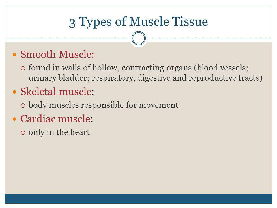 3 Types of Muscle Tissue Smooth Muscle:  found in walls of hollow, contracting organs (blood vessels; urinary bladder; respiratory, digestive and rep