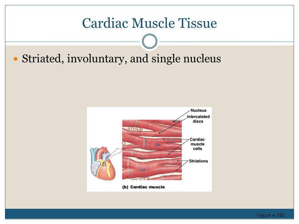 Cardiac Muscle Tissue Striated, involuntary, and single nucleus Figure 4–18b