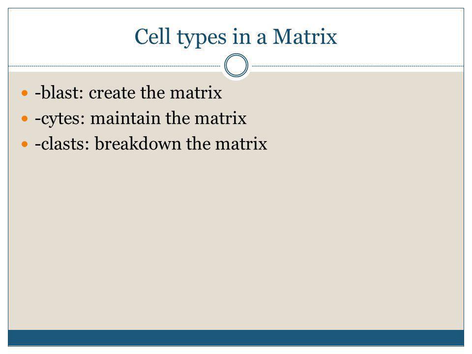 Cell types in a Matrix -blast: create the matrix -cytes: maintain the matrix -clasts: breakdown the matrix