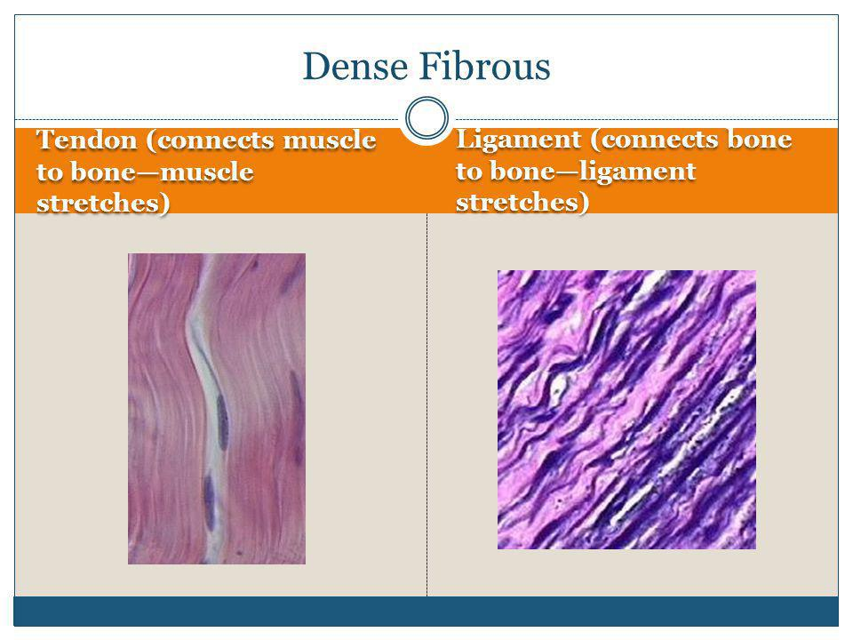 Tendon (connects muscle to bone—muscle stretches) Ligament (connects bone to bone—ligament stretches) Dense Fibrous