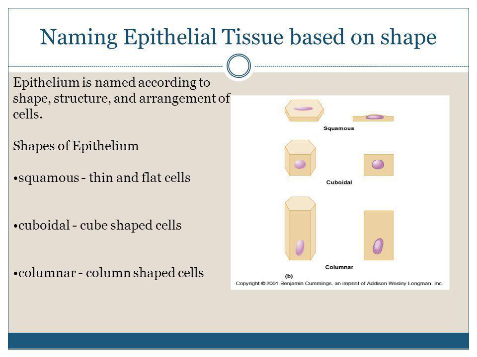 Naming Epithelial Tissue based on shape Epithelium is named according to shape, structure, and arrangement of cells. Shapes of Epithelium squamous - t