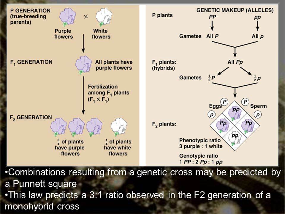Combinations resulting from a genetic cross may be predicted by a Punnett square This law predicts a 3:1 ratio observed in the F2 generation of a mono