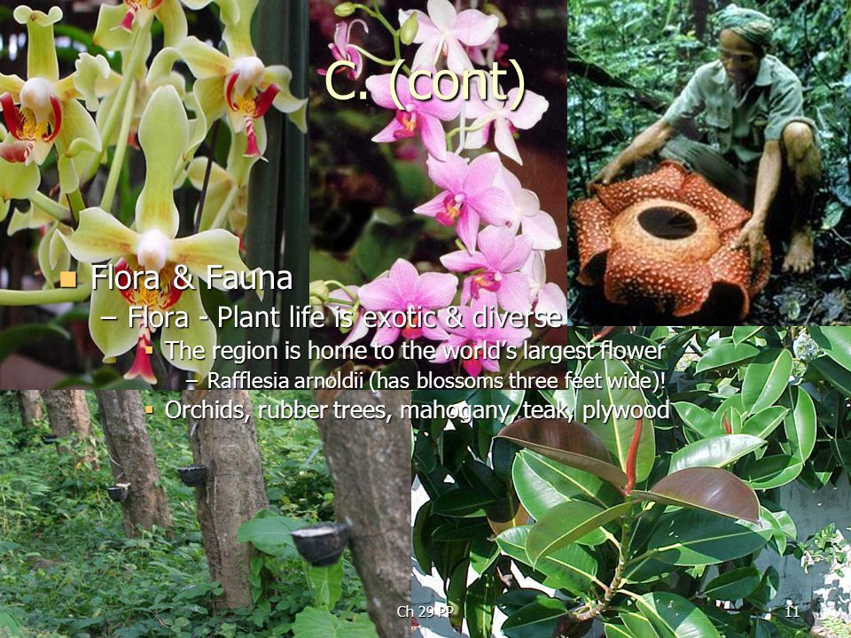 C. (cont) Flora & Fauna Flora & Fauna –Flora - Plant life is exotic & diverse  The region is home to the world's largest flower –Rafflesia arnoldii (