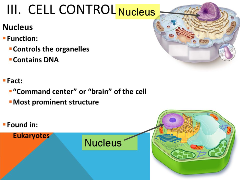 """Nucleus  Function:  Controls the organelles  Contains DNA  Fact:  """"Command center"""" or """"brain"""" of the cell  Most prominent structure  Found in:"""