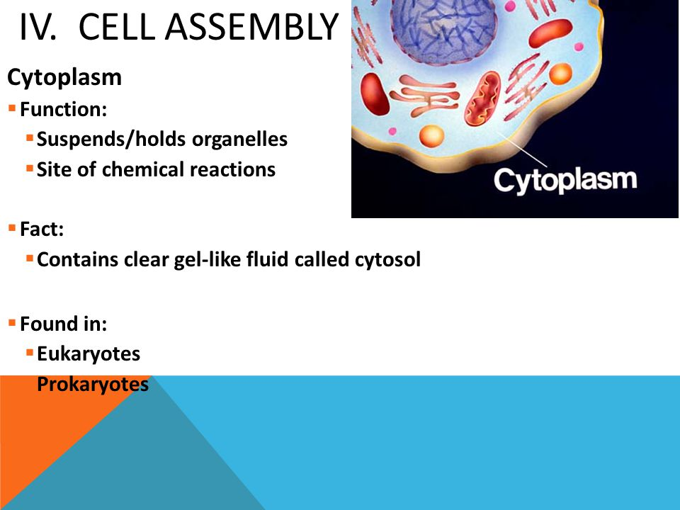 IV. CELL ASSEMBLY Cytoplasm  Function:  Suspends/holds organelles  Site of chemical reactions  Fact:  Contains clear gel-like fluid called cytoso
