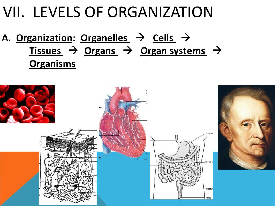 VII. LEVELS OF ORGANIZATION A. Organization: Organelles  Cells  Tissues  Organs  Organ systems  Organisms