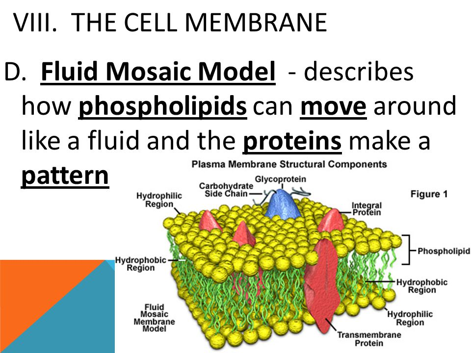 VIII. THE CELL MEMBRANE D. Fluid Mosaic Model - describes how phospholipids can move around like a fluid and the proteins make a pattern