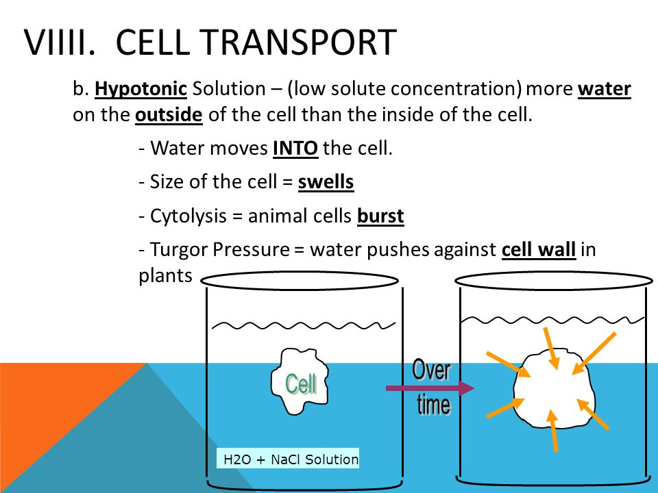 VIIII. CELL TRANSPORT b. Hypotonic Solution – (low solute concentration) more water on the outside of the cell than the inside of the cell. - Water mo