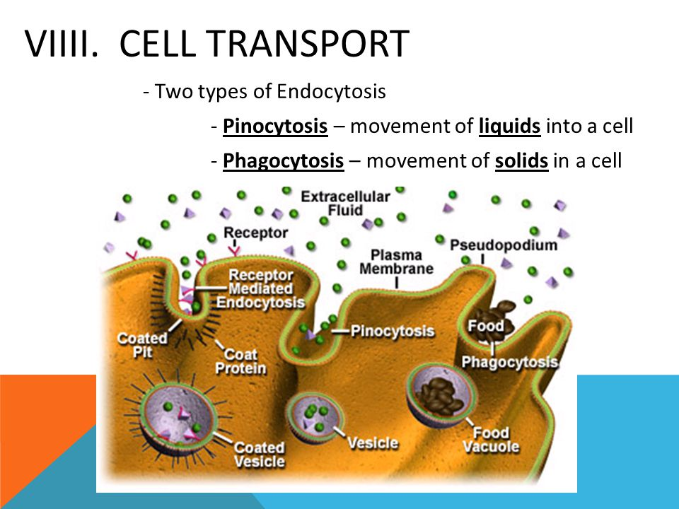 VIIII. CELL TRANSPORT - Two types of Endocytosis - Pinocytosis – movement of liquids into a cell - Phagocytosis – movement of solids in a cell