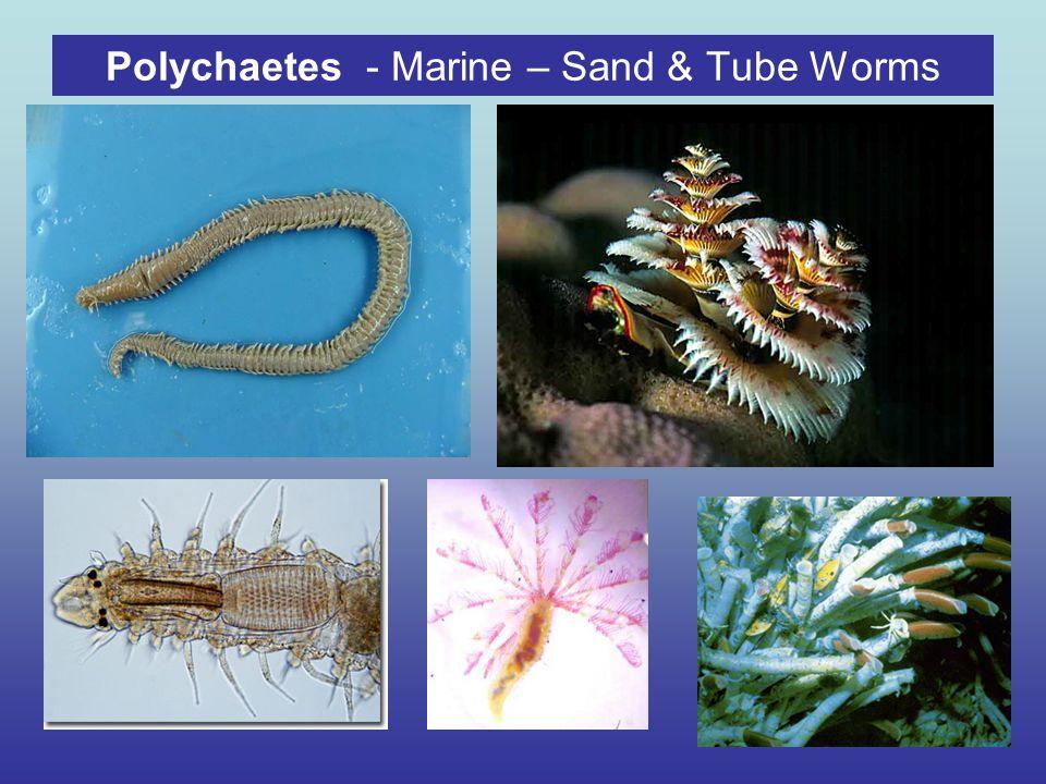 Polychaetes - Marine – Sand & Tube Worms