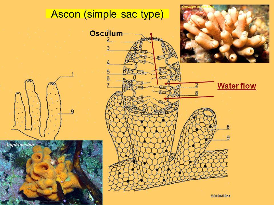 Ascon (simple sac type) Osculum Water flow