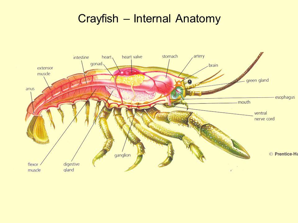 Crayfish – Internal Anatomy