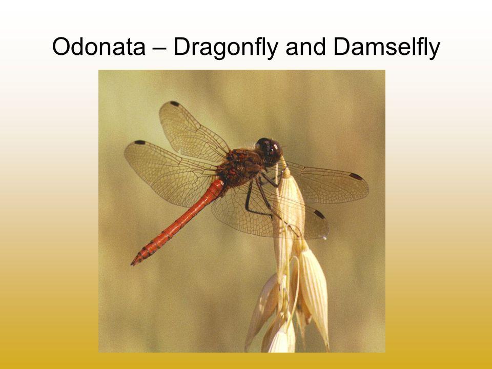 Odonata – Dragonfly and Damselfly