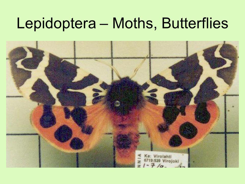 Lepidoptera – Moths, Butterflies