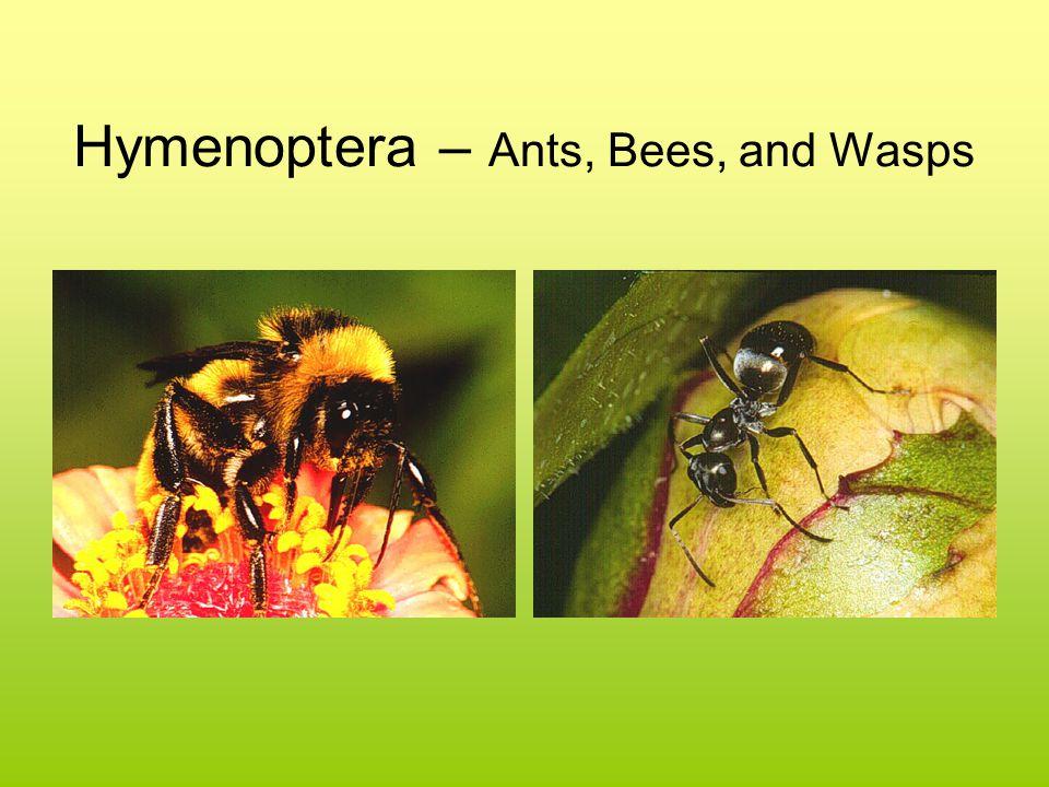 Hymenoptera – Ants, Bees, and Wasps