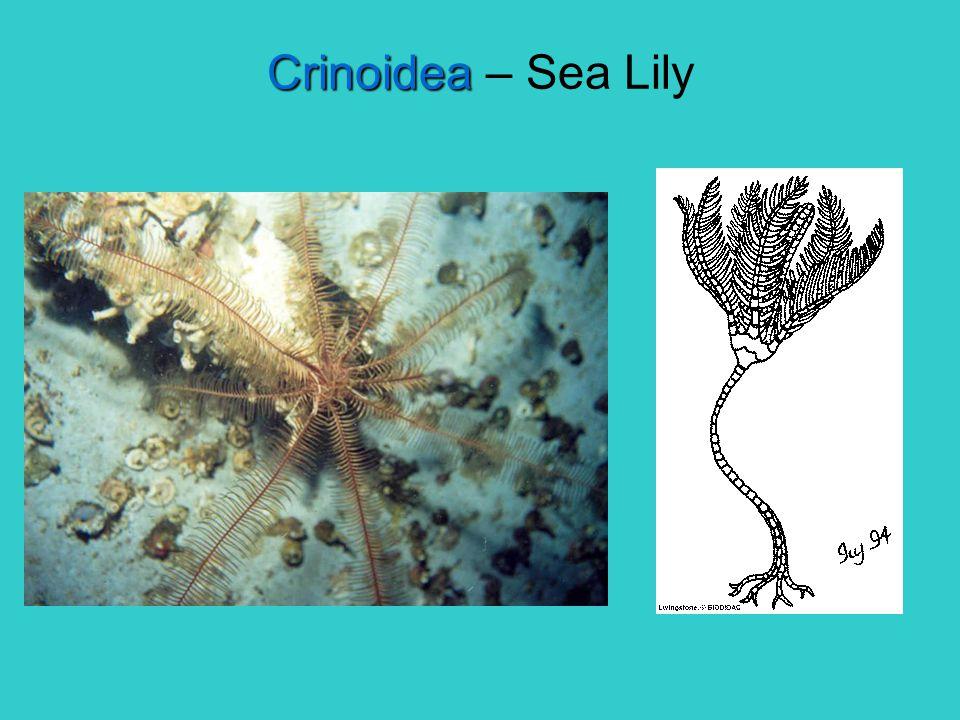 Crinoidea Crinoidea – Sea Lily