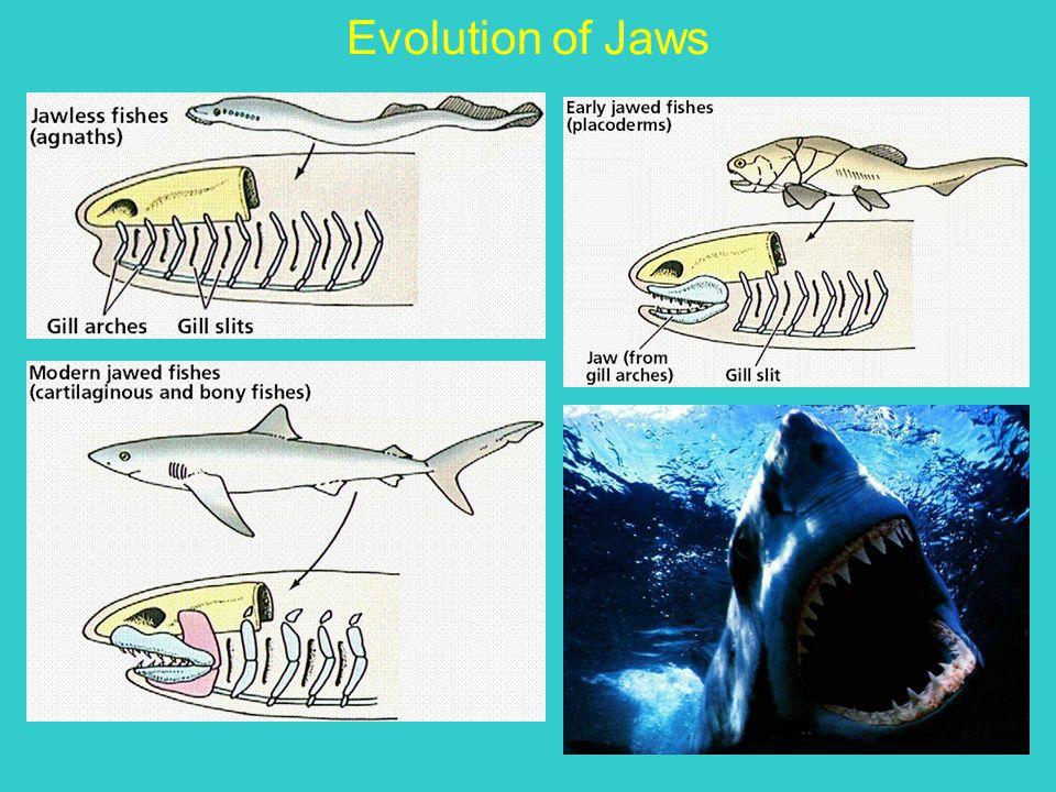 Evolution of Jaws