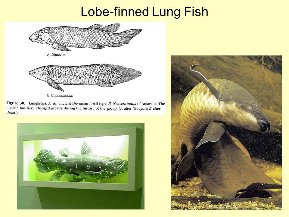 Lobe-finned Lung Fish