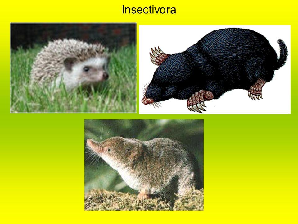 Insectivora