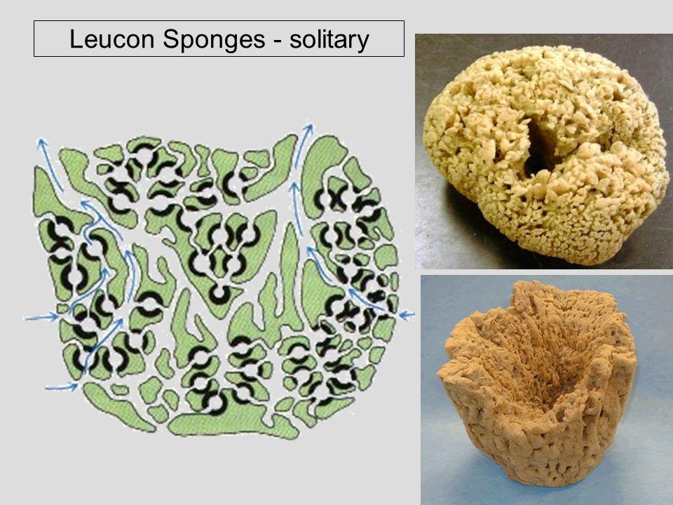 Leucon Sponges - solitary