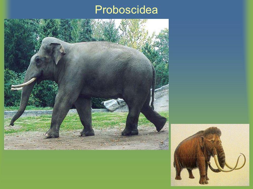 Proboscidea