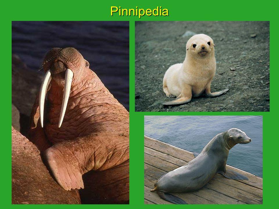 Pinnipedia
