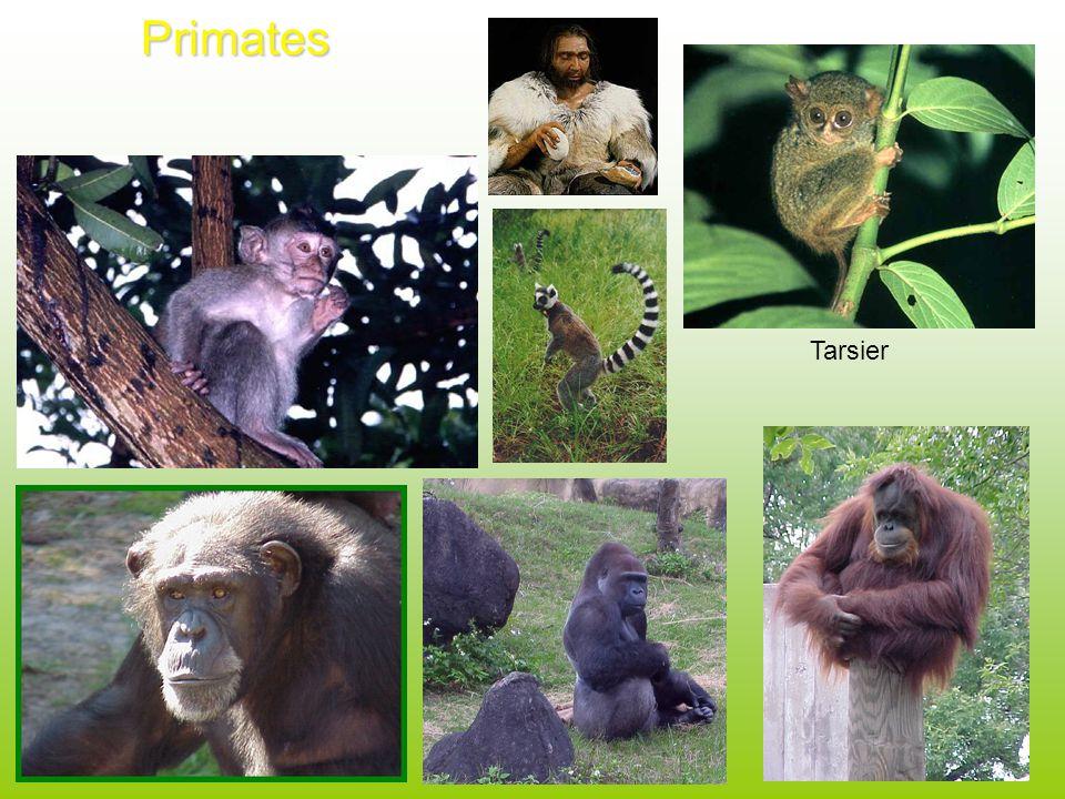 Primates Tarsier