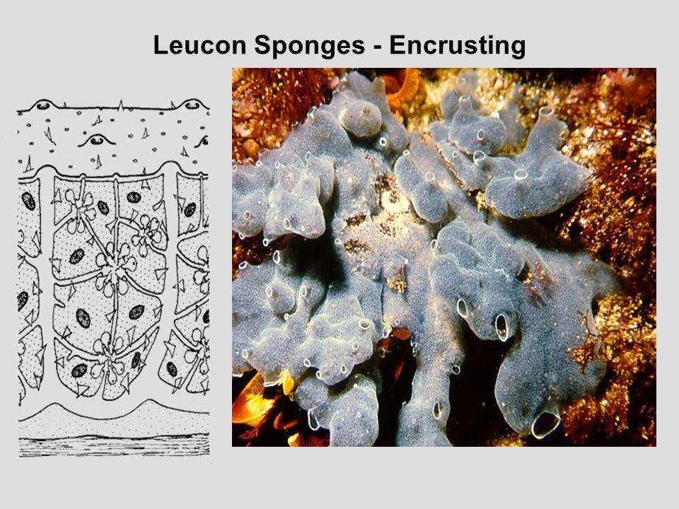 Leucon Sponges - Encrusting