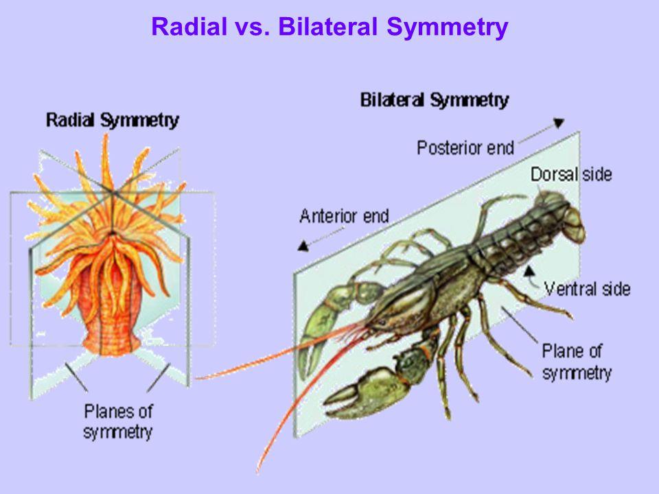 Radial vs. Bilateral Symmetry
