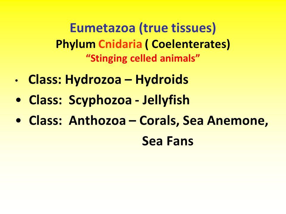 Eumetazoa (true tissues) Phylum Cnidaria ( Coelenterates) Stinging celled animals Class: Hydrozoa – Hydroids Class: Scyphozoa - Jellyfish Class: Anthozoa – Corals, Sea Anemone, Sea Fans