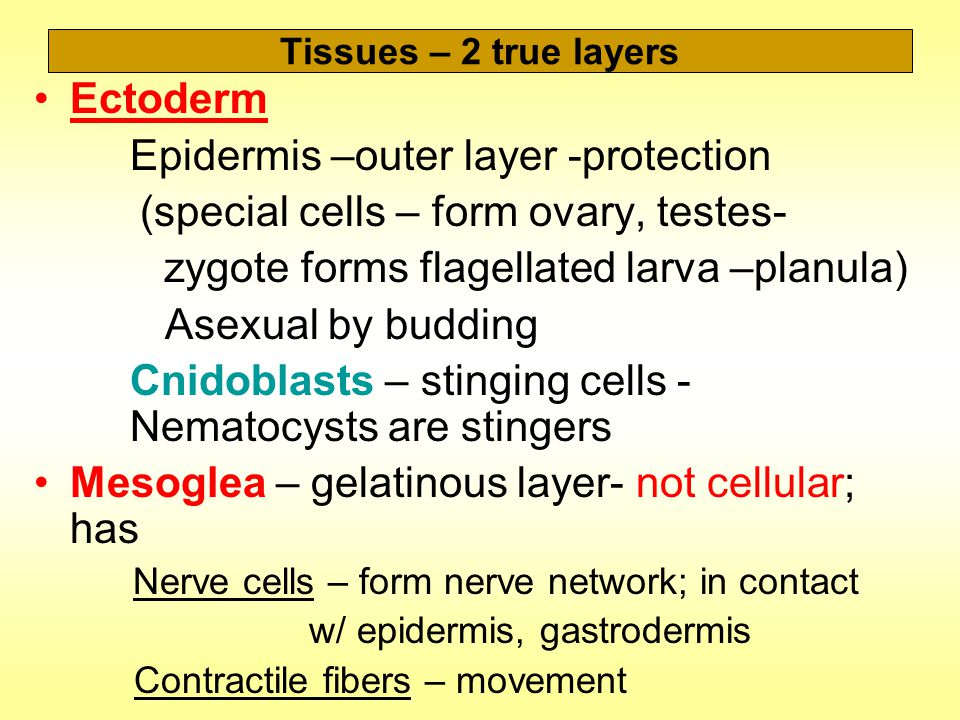 Tissues – 2 true layers Ectoderm Epidermis –outer layer -protection (special cells – form ovary, testes- zygote forms flagellated larva –planula) Asexual by budding Cnidoblasts – stinging cells - Nematocysts are stingers Mesoglea – gelatinous layer- not cellular; has Nerve cells – form nerve network; in contact w/ epidermis, gastrodermis Contractile fibers – movement