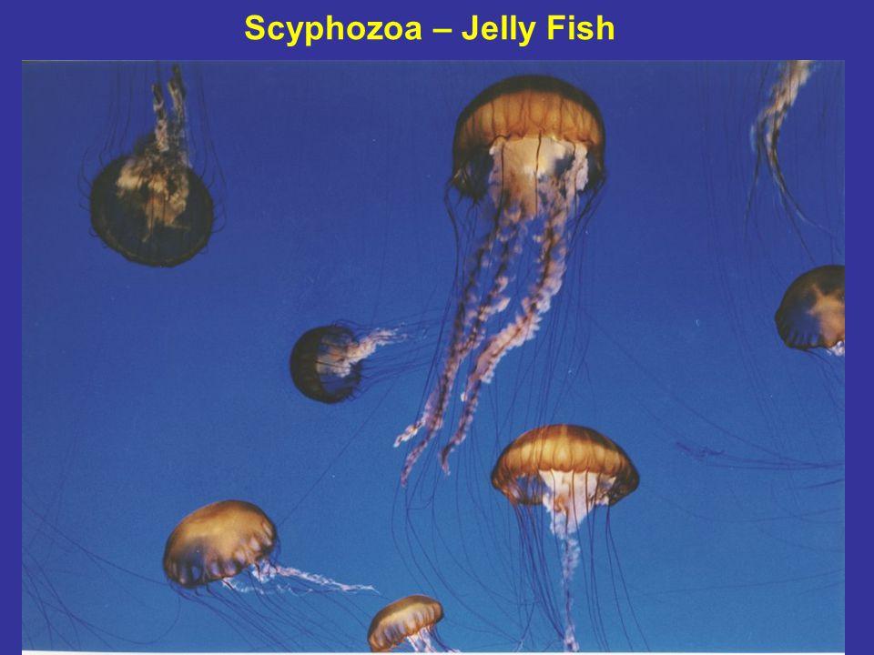 Scyphozoa – Jelly Fish