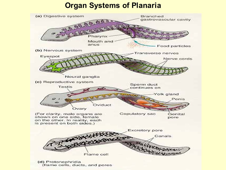 Organ Systems of Planaria