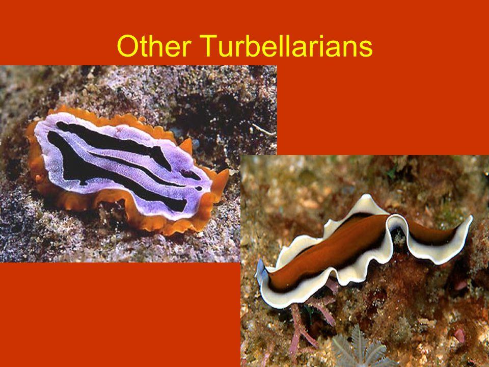 Other Turbellarians