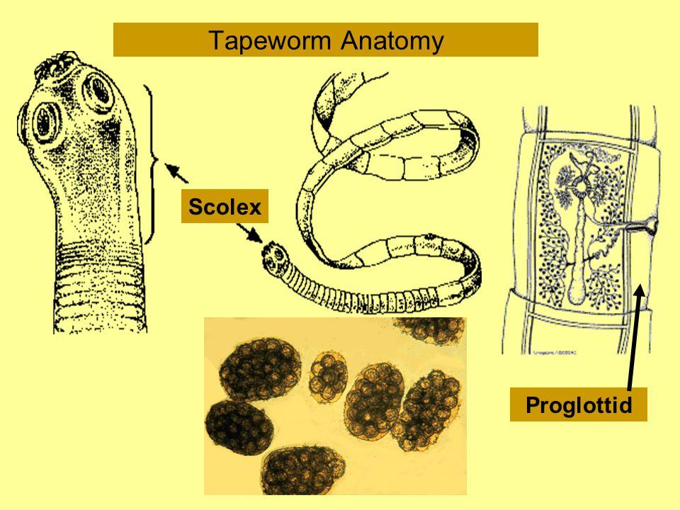 Tapeworm Anatomy Proglottid Scolex