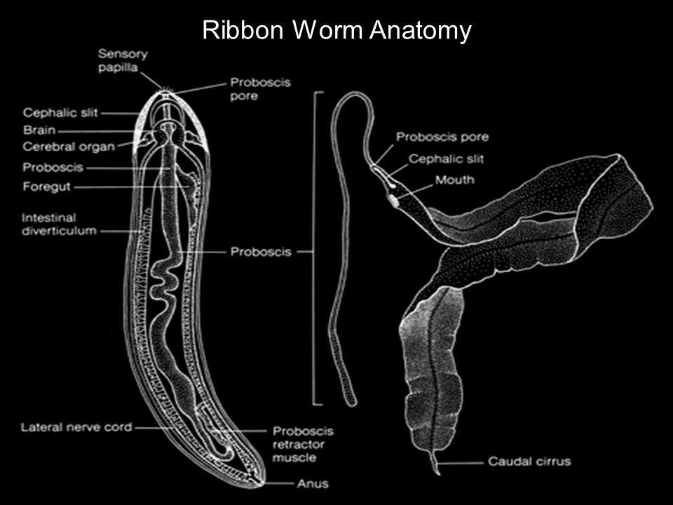 Ribbon Worm Anatomy
