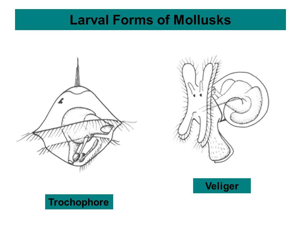 Larval Forms of Mollusks Trochophore Veliger
