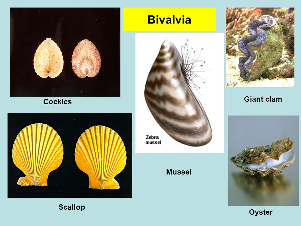 Bivalvia Cockles Giant clam Oyster Mussel Scallop