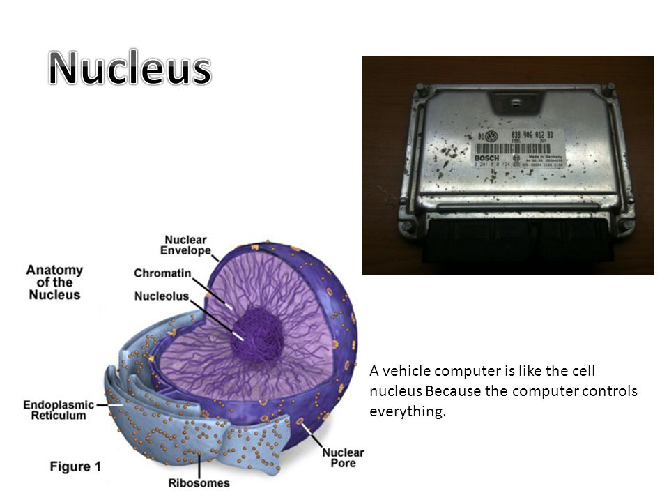 A vehicle computer is like the cell nucleus Because the computer controls everything.