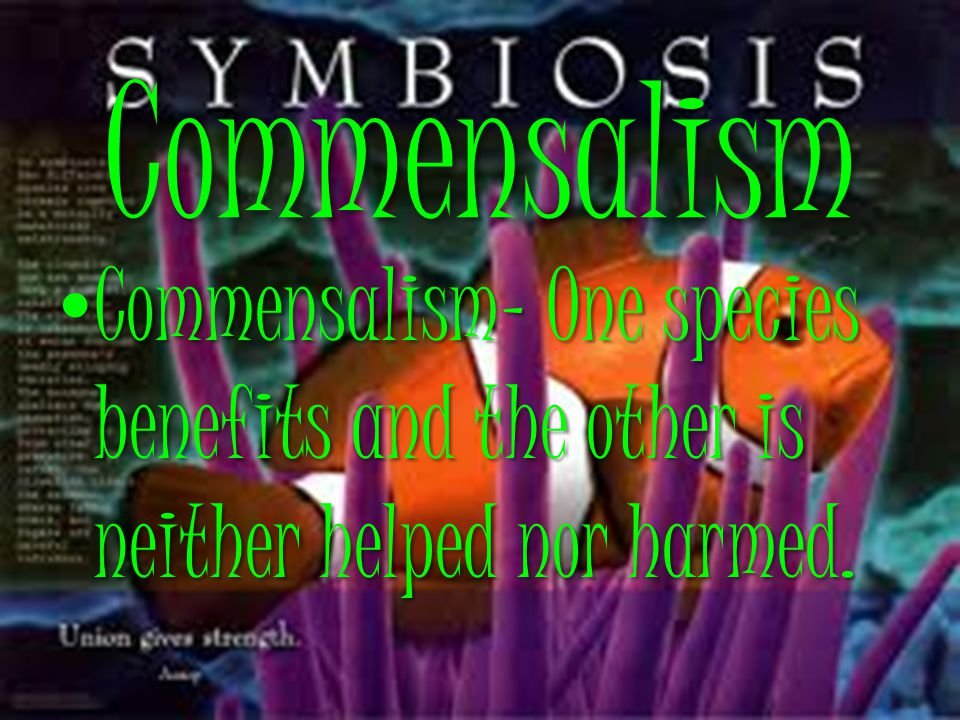 Commensalism Commensalism- One species benefits and the other is neither helped nor harmed. Commensalism- One species benefits and the other is neithe