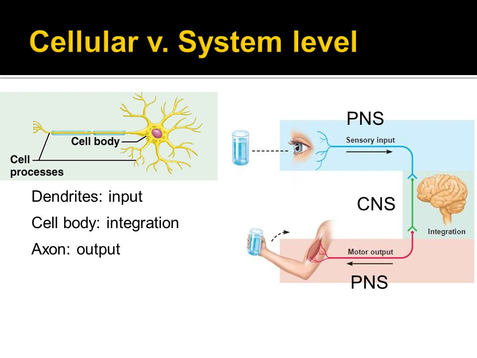 1. The inside is more negative 2. The cell has crossed threshold 3. The inside is more positive