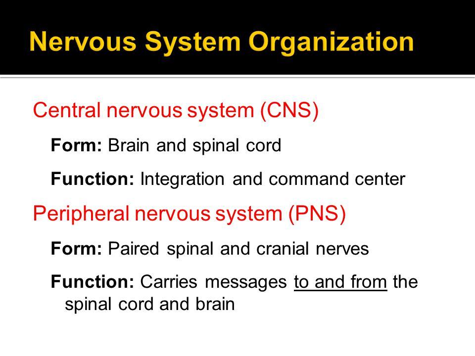 Central Nervous System Peripheral Nervous System Motor (efferent) Sensory (afferent) Somatic (voluntary) Autonomic (involuntary) Parasympathetic (Stop.