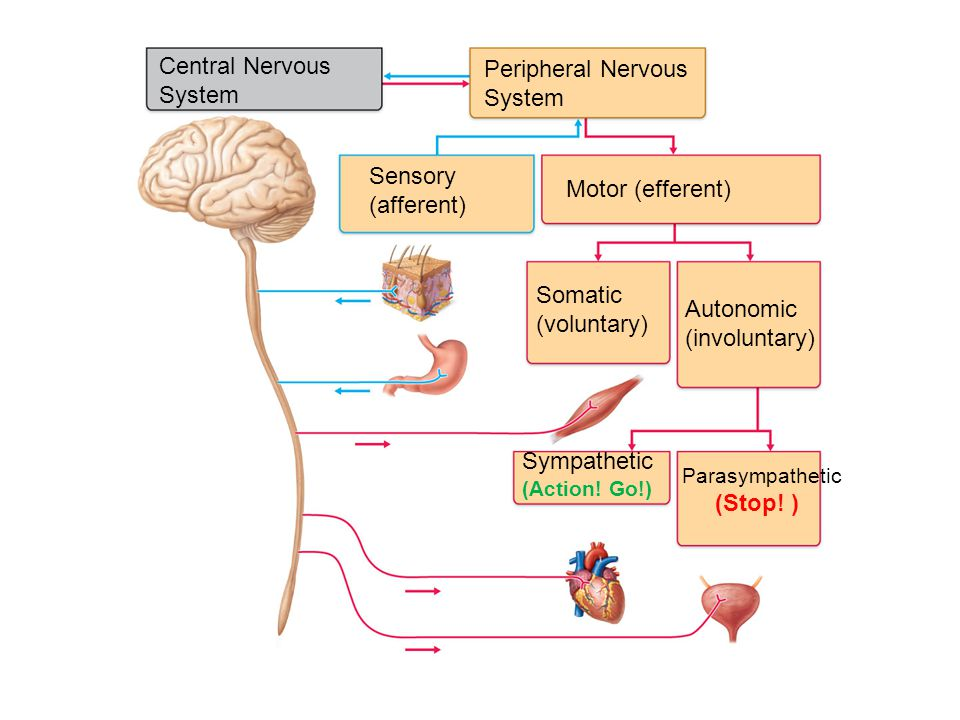 Direct  Alter ion channels  Rapid response  Important in sensory-motor coordination  Ex.) ACh, GABA, glutamate Indirect  Work via second messengers and G-proteins  Slower action  Important in memory, learning, and autonomic nervous system  Ex.) dopamine, serotonin, norepinephrine