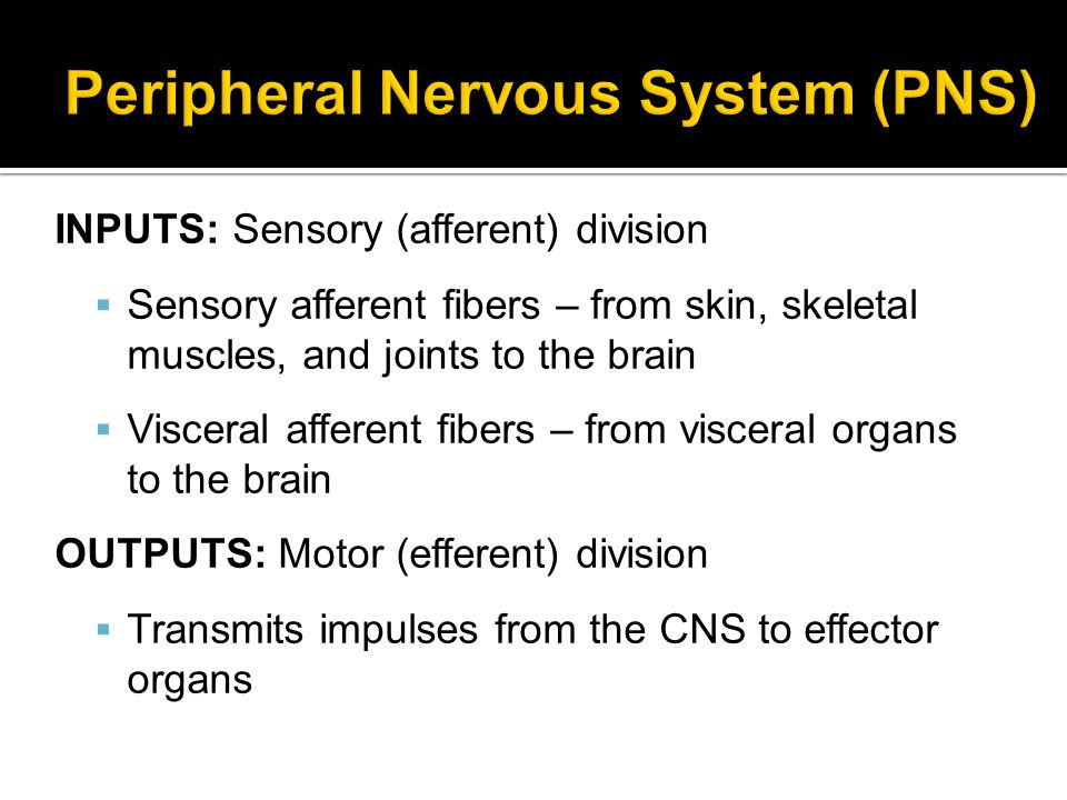 Somatic nervous system (SNS)  Conscious control of skeletal muscles Autonomic nervous system (ANS)  Regulates involuntary muscle (smooth and cardiac) and glands ▪Sympathetic (Stimulates = Go!) ▪Parasympathetic (Conserves = Stop!)