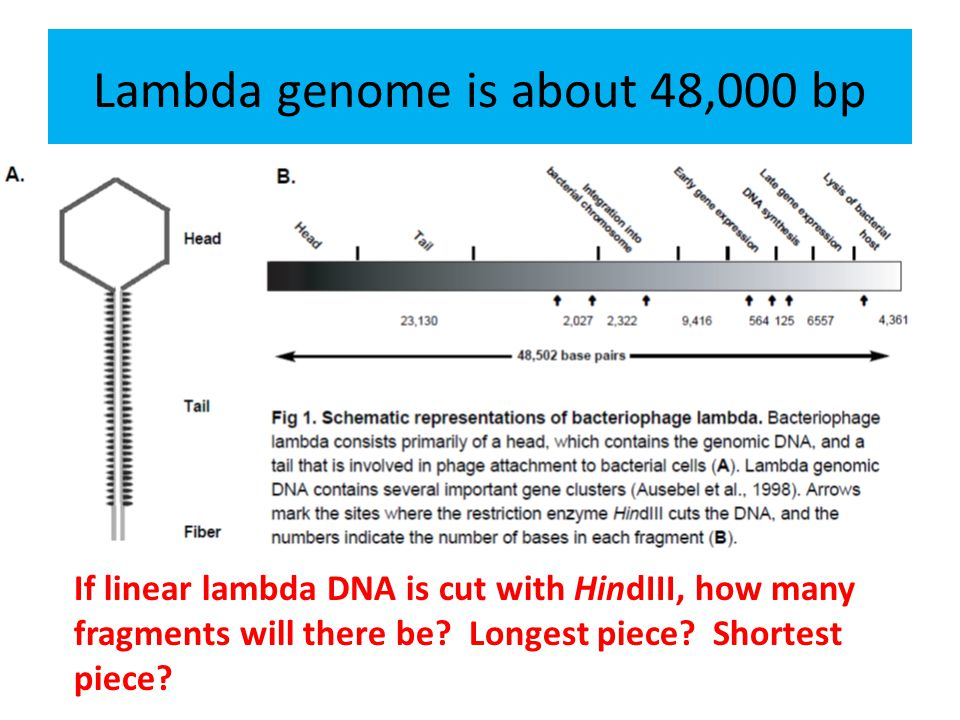 How can we determine the sizes of the DNA fragments.