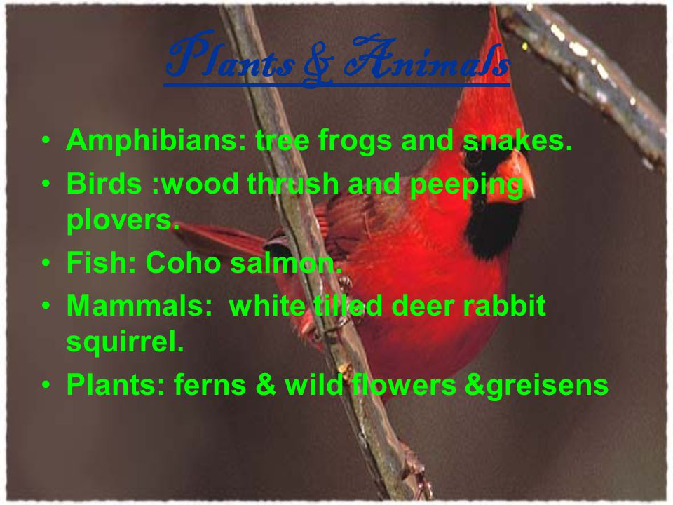 Plants & Animals Amphibians: tree frogs and snakes. Birds :wood thrush and peeping plovers. Fish: Coho salmon. Mammals: white tilled deer rabbit squir