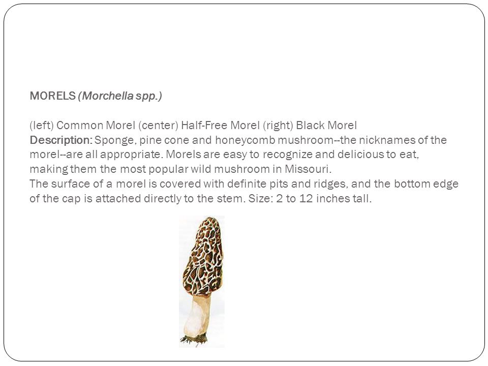 MORELS (Morchella spp.) (left) Common Morel (center) Half-Free Morel (right) Black Morel Description: Sponge, pine cone and honeycomb mushroom--the nicknames of the morel--are all appropriate.