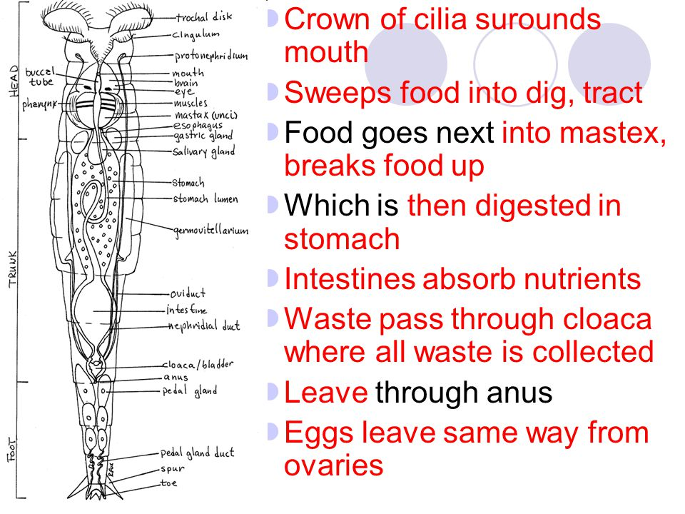Crown of cilia surounds mouth Sweeps food into dig, tract Food goes next into mastex, breaks food up Which is then digested in stomach Intestines abso